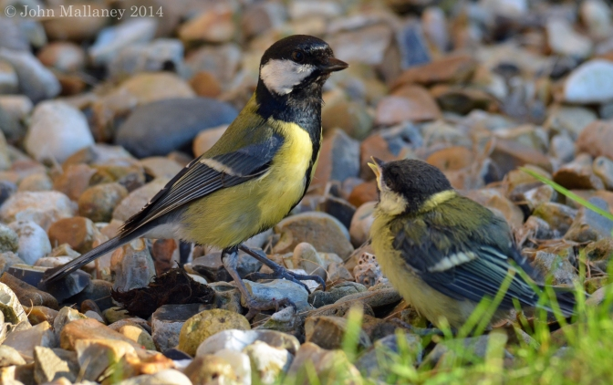 Great tits from fledging to fledglings – Part 2