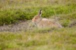 Mountain Hare