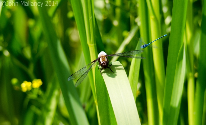 Broad-bodied Chaser and Common Blue
