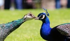 Mr & Mrs Peacock