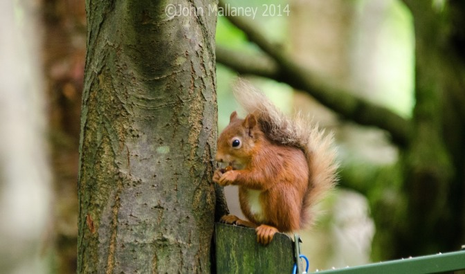 More Red Squirrels