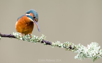 Common Kingfisher 2
