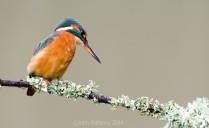 Common Kingfisher 3