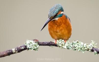Common Kingfisher 5