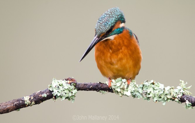 Common Kingfisher 5