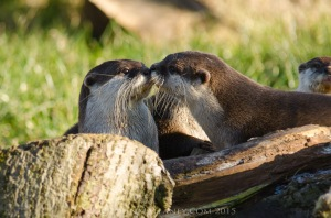 Asian Short Claw Otters