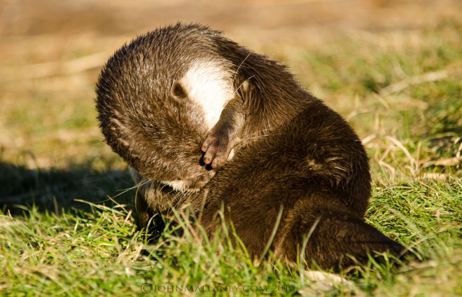 Asian Otter