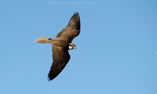 Gyr Falcon