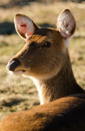Barasingha Deer