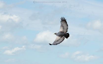 Chilean Blue Eagle