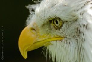 Bonnie - Bald Eagle