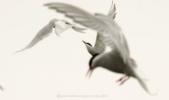 A trio of Arctic Terns