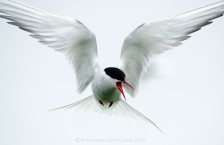 A vocal warning from an Arctic Tern