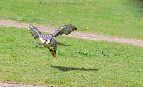 Peregrine Saker Falcon