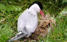 Arctic Tern with chick