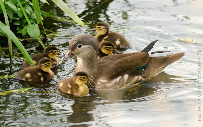 Mandarin duck and chicks