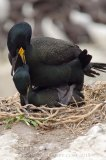 As their name suggests, a pair of shags doing what they do best