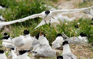 Sandwich Tern and chicks