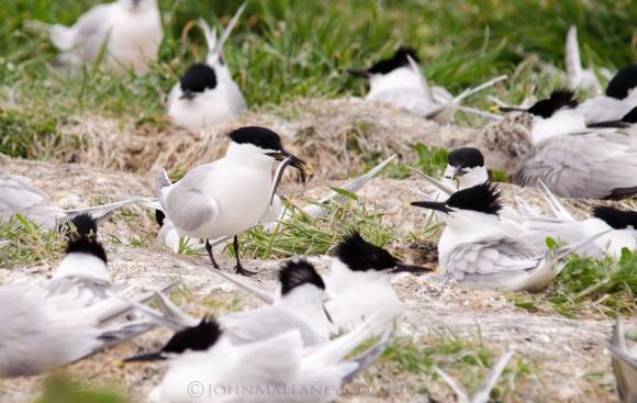 Sandwich Tern and chicks
