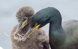 Shag and chick