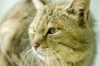 Eurasian Wildcat