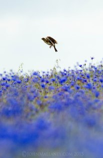 Skylark over cornflower field