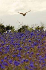 Skylark over cornflower field