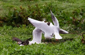 Puffin being hrassed by a black-headed gull