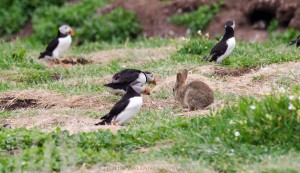 Puffin imposter