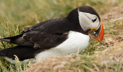 Puffin with a beakful
