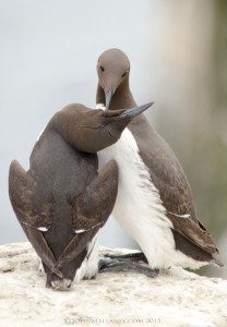 Love is...Guillemot style