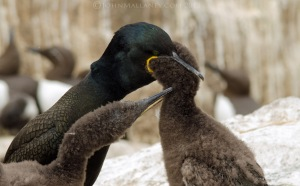 Shag feeding chick