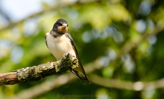 A Posing Swallow