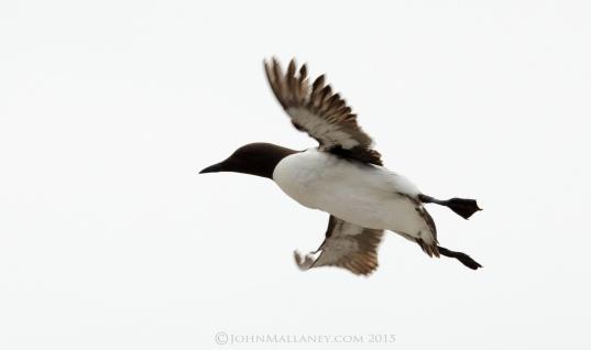 Guillemot in Flight