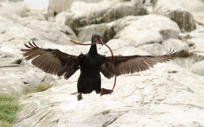 Shags in Flight