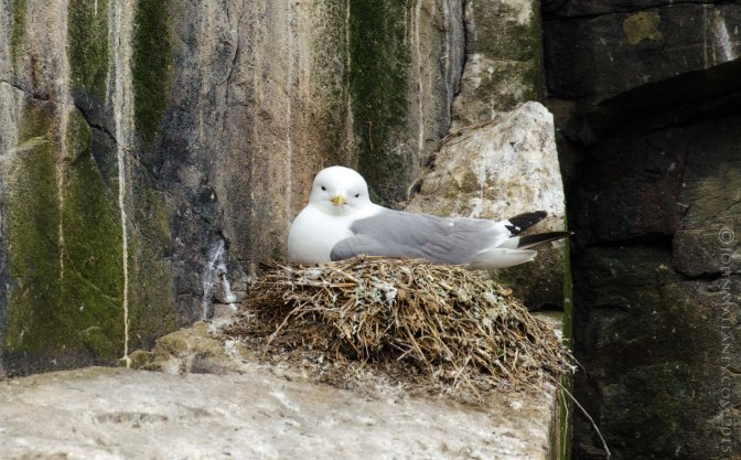 Kittiwakes with Chicks