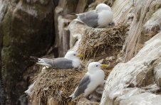 Kittiwake with Chicks