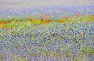 Cornflowers and Poppies