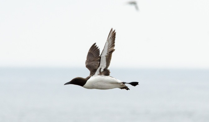 Guillemots in Flight