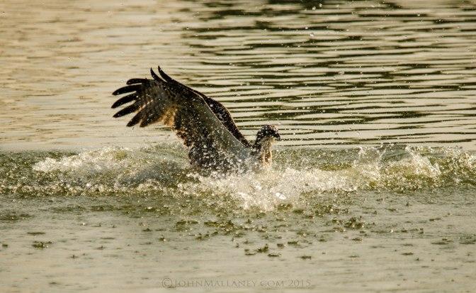 An Osprey Fishing (again!)