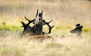 Red Deer Stag and Harem