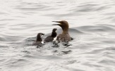 Guillemot with Chicks