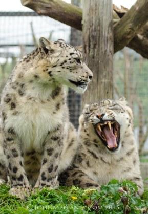 Mr & Mrs Snow Leopard