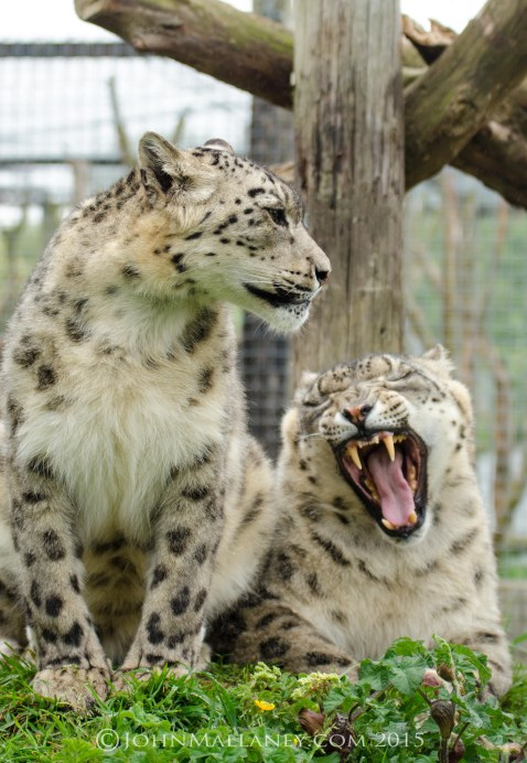 Mr & Mrs Snow Leopard