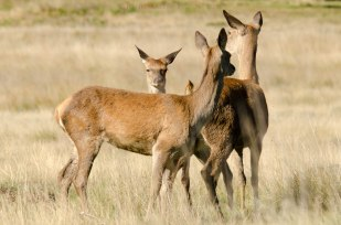 Red Deer Hinds