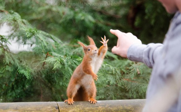 Red Squirrel - Gimme 4