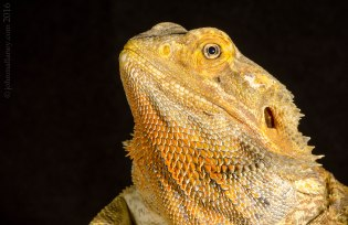 Inland Bearded Dragon