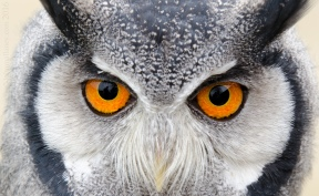 Southern White Faced Owl