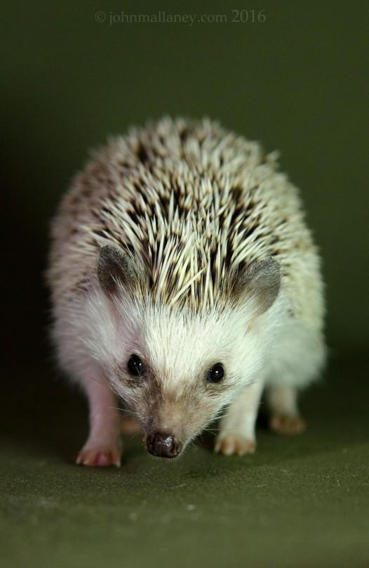 African Pygmy Hedgehog