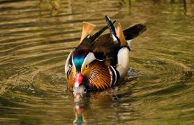 Mandarin ducks mating